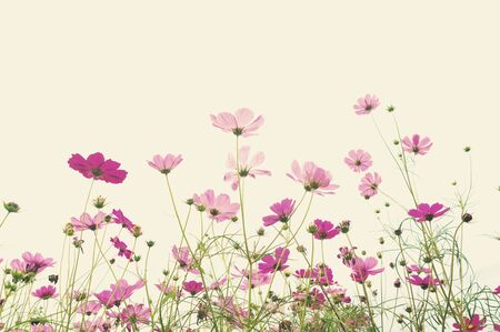 Soft focus cosmos flower ,vintage pastel background Stock Photo