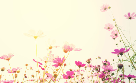 Soft focus cosmos flower with sunlight ,vintage pastel background Stock Photo
