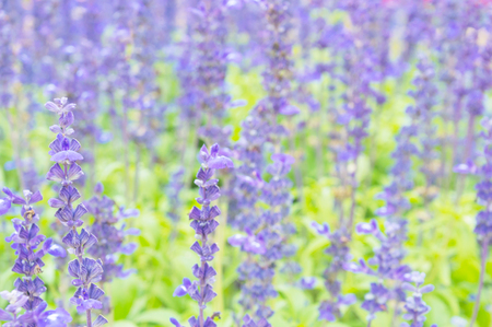 Close up of Lavender flower on blur background  field