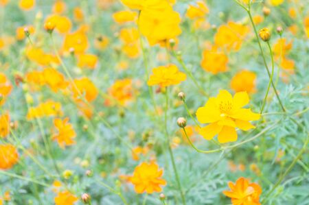 selective focused Yellow cosmos flower background