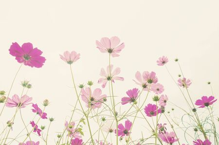 Soft focus colorful cosmos flower ,vintage pastel background