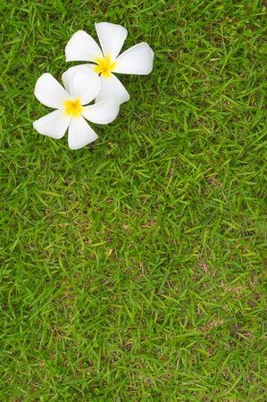 Top view of Frangipani flower on background of green grass Lizenzfreie Bilder
