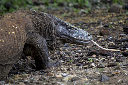forked: Komodo dragon (Varanus komodoensis) in Komodo National Park, East Nusa Tenggara, Indonesia. The Komodo dragons are the largest lizards in the world. Close up view of a komodo dragon with forked tongue.