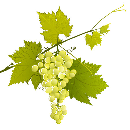 leafy: white grape cluster on a leafy branch