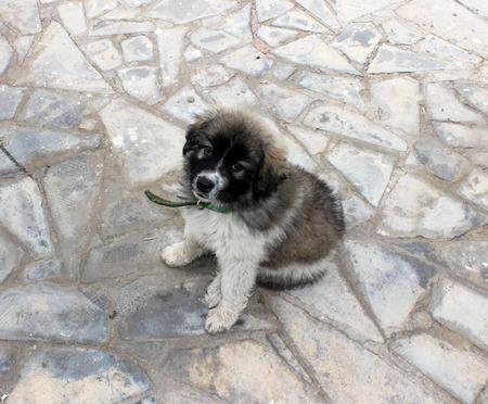 caucasian shepherd: Puppy of  Caucasian shepherd