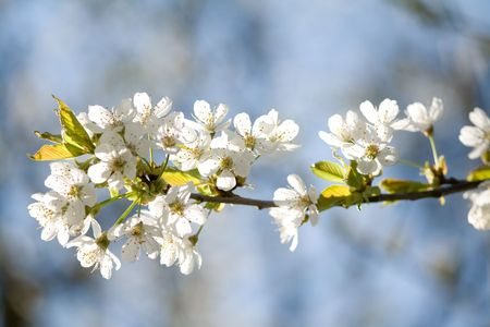 herbage: white blossom flowers Stock Photo