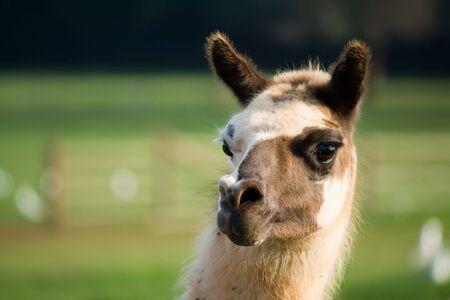 the lama: portrait of a lama