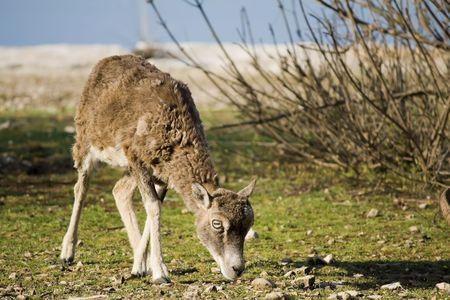 mouflon: mouflon eating