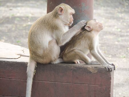 The Monkeys in the wild. Stock Photo