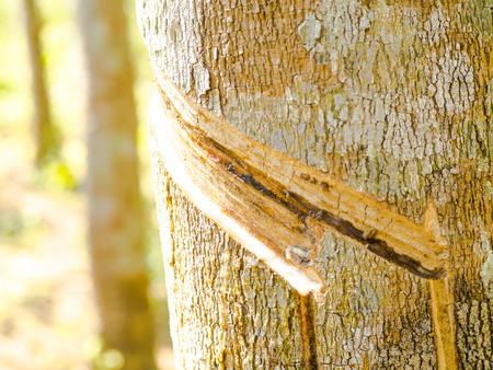 tapping: Rubber tapping.