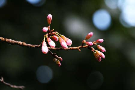 doi: Sakura a Doi Pui Archivio Fotografico