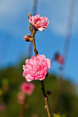 ang: Pink plum flower blossoming at Doi Ang Khang, Chiang mai, Thailand Stock Photo