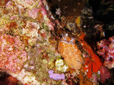 nudi: orange nudi found in MyanmarBurma sea