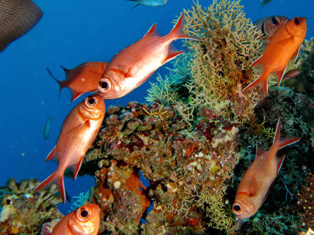 live coral: Red fish kissing in Maldive dive site Stock Photo