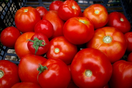 Fresh ripe healthy tomatoes being stocked in plastic boxes