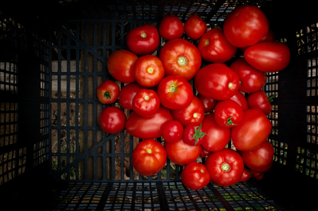 Fresh ripe healthy red tomatoes being stocked in plastic boxes juice Stock Photo