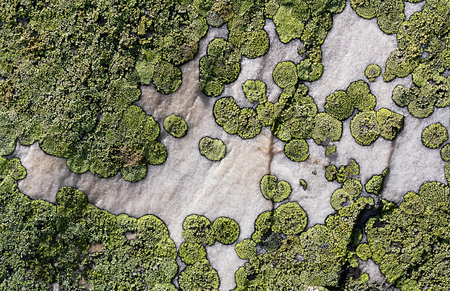 green lichen with a beautiful ear on a gray stone clean background