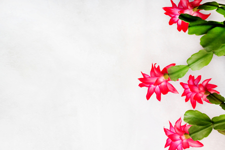 pink flowers of the Christmas cactus on a white background with space for text