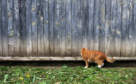 Ginger red cat looking for a mouse on a green lawn in the afternoon Archivio Fotografico