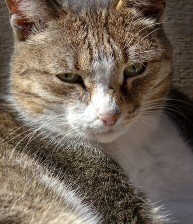 close-up portrait of the face of an old seasoned cat with a calm wise look, mustache and striped coloring