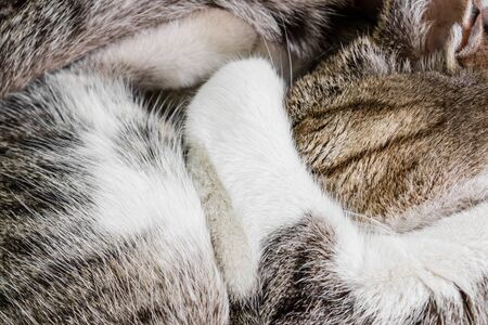the cat closed her eyes and her nose paw curled up and sleeps in the heat, the fur coloring is gray-white, close-up Stock Photo