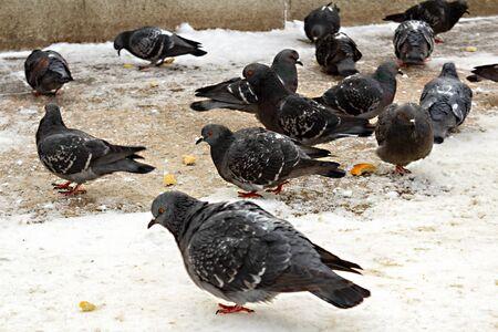 I piccioni mangiano beccando le briciole di pane sulla neve
