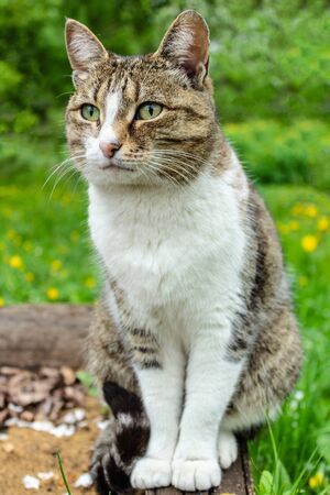 domestic cat with a collar sits in the garden against a background of green bushes and grass and looks into the distance, closeup portrait of a cat Reklamní fotografie