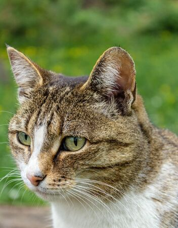 domestic cat with a collar sits in the garden against a background of green bushes and grass and looks into the distance, closeup portrait of a cat muzzle