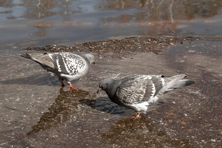 Urban pigeons peck bread crumbs from a puddle, in which its reflection and the reflection of clouds are visible