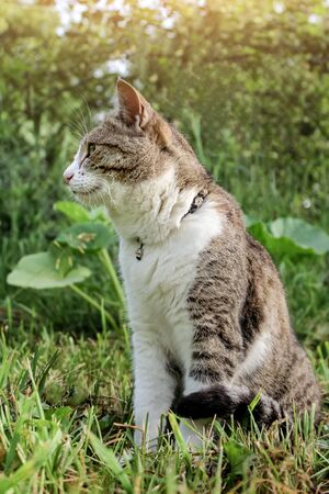 domestic cat with a collar sits in the garden against a background of green bushes and grass and looks into the distance, closeup portrait of a cat in profile