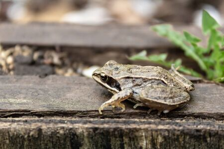 Little brown garden frog sits on a wooden board in the garden during summer rain 写真素材