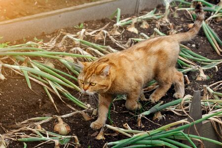 powerful red-haired domestic cat goes on planting green onions in the garden. cat on a walk in the garden 免版税图像
