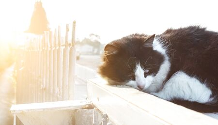 fluffy black and white cat sleeps in the rays of the soft morning sun on the street. cat curled up