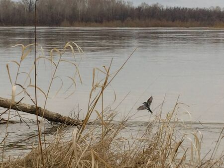 a bird with spread wings flies and sits on the trunk of a flooded tree in a spilled river during a spring flood