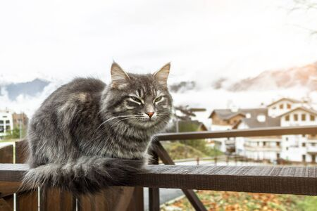 cat Beautiful fluffy gray is sitting on the fence. frosty morning in the mountains. close-up gray fluffy Persian kitty Maine coon 免版税图像