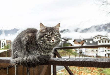 cat gray fluffy cute striped with green eyes sits on a wooden fence or gate. mountains in the morning sunny dawn. close-up gray fluffy Persian kitty Maine coon 免版税图像