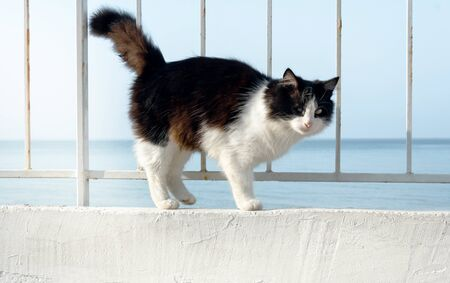 beautiful black and white cat on the white promenade sea posing curved back and tail. Fluffy cat sailor