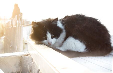 cat fluffy black and white lies curled up in the rays of the soft morning sun on the street