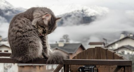 fluffy gray cat sits on a fence and washes, licks himself. frosty morning in the mountains. close-up gray fluffy Persian kitty Maine coon 免版税图像