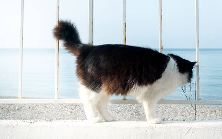 beautiful black and white cat on the white promenade stands and looks at the sea. Fluffy cat sailor 免版税图像