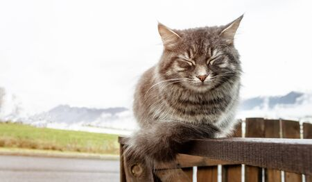 gray fluffy cute tabby cat with closed eyes sits on a wooden fence or gate, frosty morning in the mountains. close-up gray fluffy Persian kitty Maine coon 免版税图像