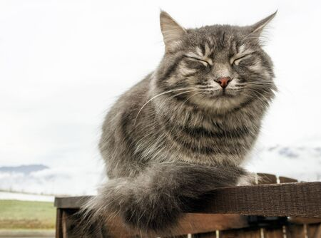 gray fluffy cute tabby cat with closed eyes sits on a wooden fence or gate, in the background a white haze of clouds close-up gray fluffy Persian kitty Maine coon 免版税图像