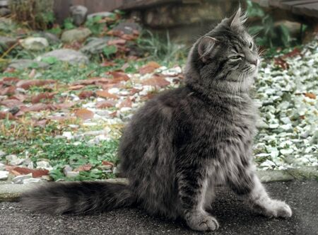 cat scratches itself. The gray fluffy Persian kitty Maine coon sits on the track and itches. Street cat catches fleasA Cat is scratching itself