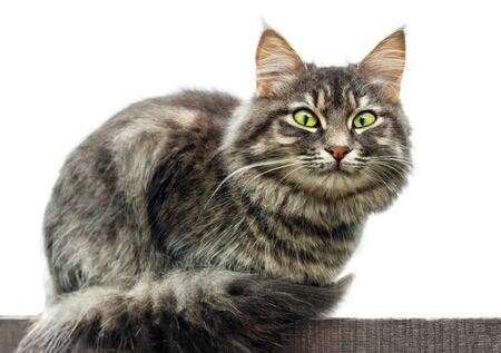 gray fluffy cute tabby cat with green eyes sits on a blackboard, Isolated on white background. close-up gray fluffy Persian kitty Maine coon