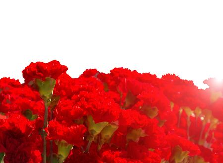 Many red carnations isolated on a white background with sunshine. Greeting card for the Victory Day on May 9, horizontal frame. Dianthus caryophyllus 免版税图像