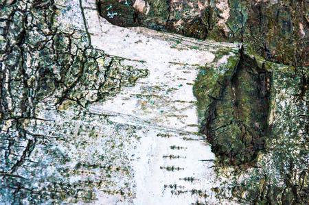 birch bark: Drawing on birch bark in winter