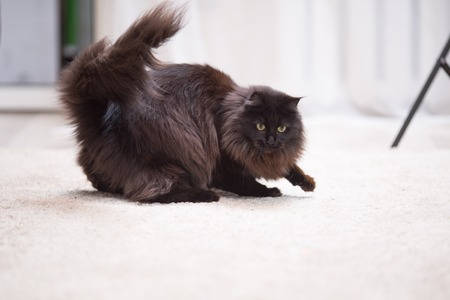 maine coon: Brown Maine Coon Kitten playing with toy on the floor Stock Photo