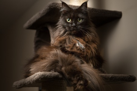 maine coon: Maine Coon cat lying in cat house Stock Photo