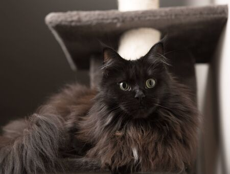 Maine Coon cat lying in cat house Stock Photo