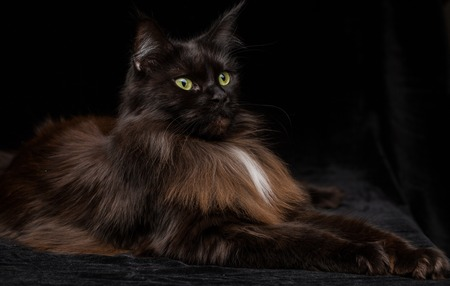 housecat: Studio Portrait of a beautiful Maine Coon Cat against Black Background. Can be used for Halloween. Stock Photo